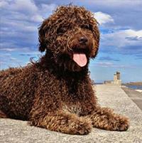 Txoko, perro de aguas